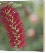 Callistemon Citrinus - Crimson Bottlebrush Wood Print