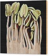 Camellia Flower Stamens, Sem Wood Print