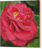 Camellia Japonica ' Dixie Knight ' Wood Print