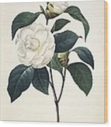 Camellia Japonica, 19th Century Wood Print by Science Photo Library