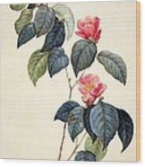 Camellia Japonica Wood Print by Pierre Joseph Redoute