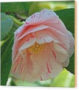 Camellia White With Pink Stripes Wood Print