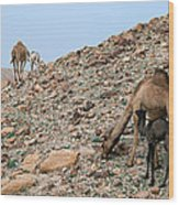 Camels At The Israel Desert -1 Wood Print