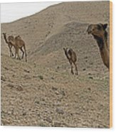 Camels At The Israel Desert -2 Wood Print
