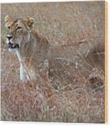 Camouflaged Female Lion In Grass Wood Print