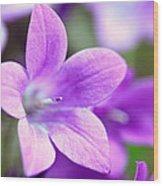 Campanula Portenschlagiana Blue Bell Flowers Closeup Wood Print