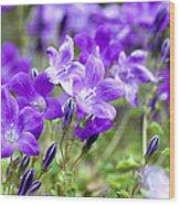 Campanula Portenschlagiana Blue Bell Flowers Wood Print
