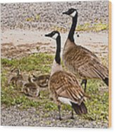 Canada Geese And Goslings Wood Print