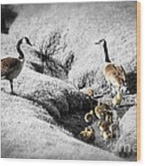 Canada Geese Family Wood Print