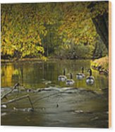 Canada Geese In Autumn Swimming On The Thornapple River Wood Print