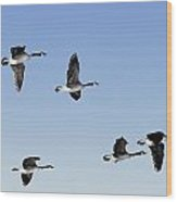 Canada Geese In Flight, Algonquin Park Wood Print