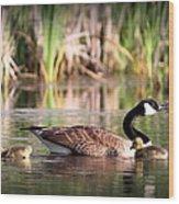 Canada Goose - Babies  8237-16x10 Wood Print