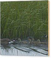 Canada Goose Family   #7453 Wood Print