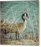 Canada Goose Wood Print by Gerald Murray Photography