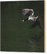 Canada Goose In Flight Wood Print