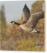 Canada Goose In The Skies  Wood Print