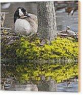 Canada Goose On Nest Wood Print