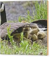 Canada Goose Pictures 192 Wood Print