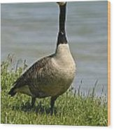 Canada Goose Pictures 214 Wood Print
