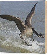 Canada Goose Touchdown Wood Print