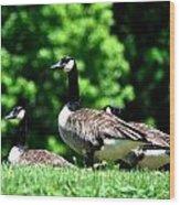 Canada Goose Wood Print