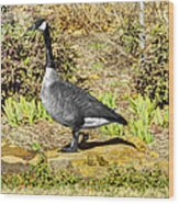 Canadaian Goose Wood Print