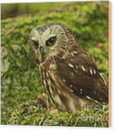Canada's Smallest Owl - Saw Whet Owl Wood Print by Inspired Nature Photography Fine Art Photography