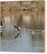 Canadian Geese Takeoff Wood Print