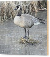 Canadian Goose Standing On A Bog In A Swamp. Wood Print