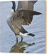Canadian Goose Stretching Wood Print