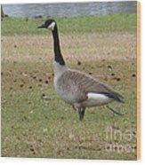 Canadian Goose Strut Wood Print
