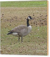 Canadian Goose Strutting  Wood Print