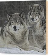 Canadian Timber Wolves Wood Print