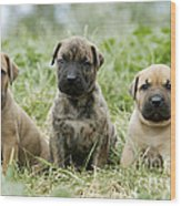Canary Dog Puppies Wood Print