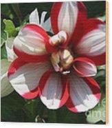 Candy Cane Dahlia Wood Print
