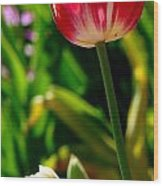 Candy Cane Tulip Wood Print