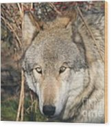 Canis Lupus  Wood Print