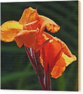 Canna In Sunlight Wood Print by Margaret Saheed