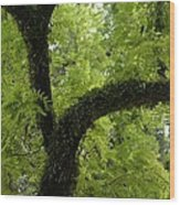 Canopy Of Cedar Elm Wood Print