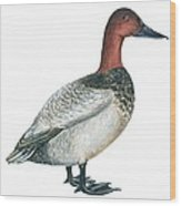 Canvasback Duck  Wood Print