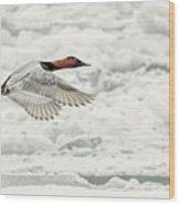Canvasback Duck In Flight Wood Print