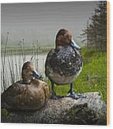 Canvasback Duck Pair By A Pond Wood Print