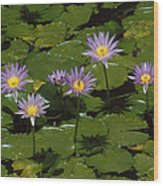 Cape Blue Water-lily Group Blooming Wood Print