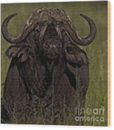 Cape Buffalo   #6885 Wood Print