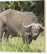 Cape Buffalo  Uganda Wood Print