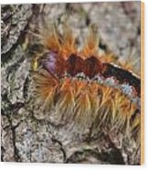 Cape Lappet Moth Caterpillar Wood Print