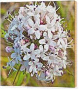 Capitate Valerian Near Savage River Cabin In Denali Np-ak Wood Print
