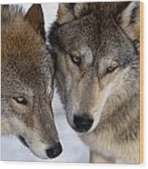 Captive Close Up Wolves Interacting Wood Print