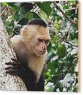 Capuchin Monkey Wood Print