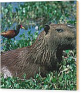 Capybara And Jacana Wood Print by Francois Gohier